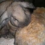 hlídání králíků Praha