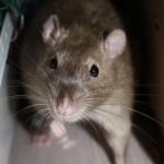 hlídání potkanů Praha
