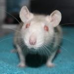 hlídání potkanů
