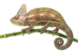 hlídání chameleonů Praha