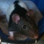 hlídání potkánků