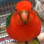 hlídání papoušků