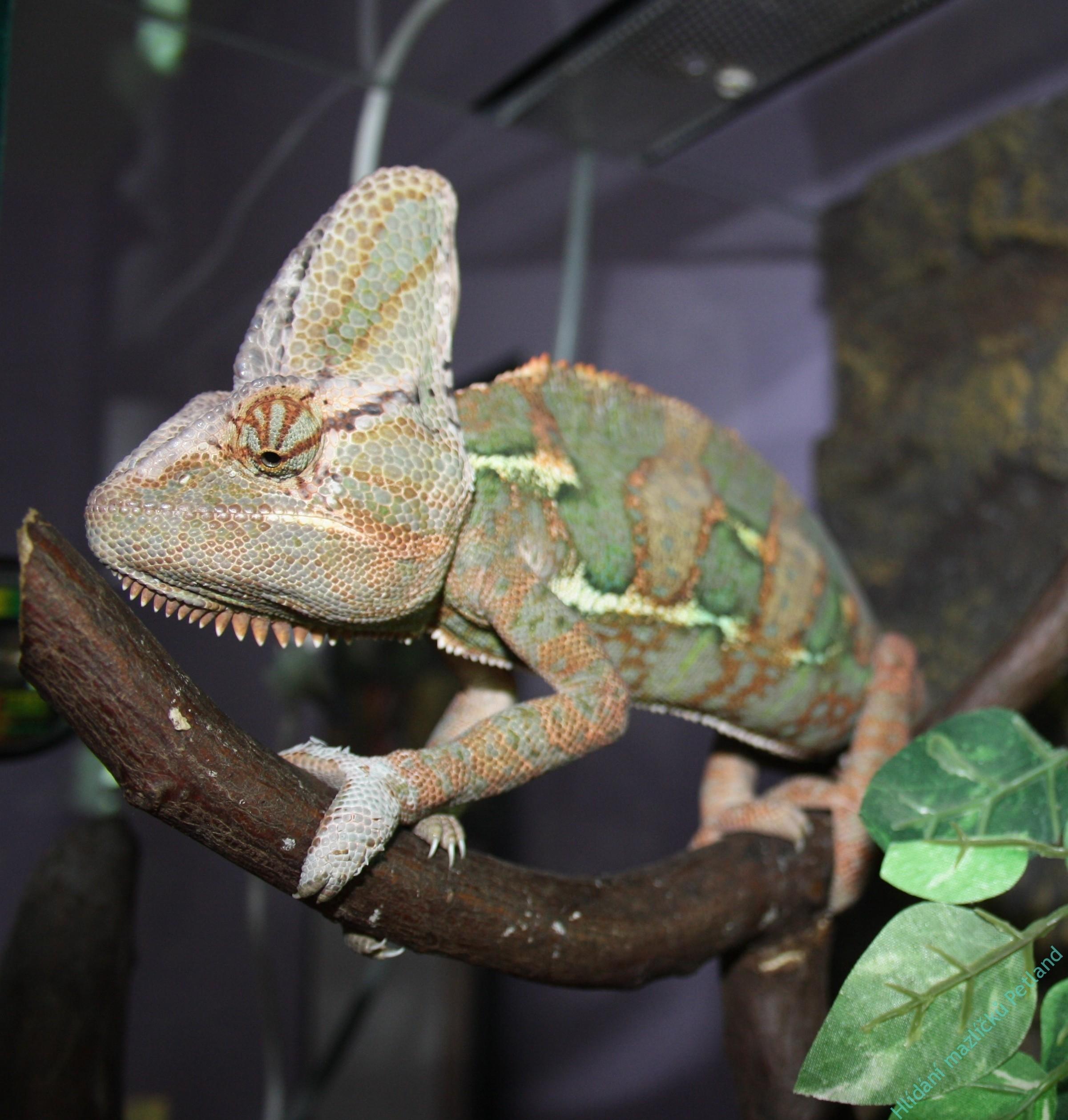hlídání chameleona Praha