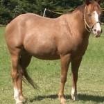 hlídání koní