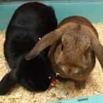 hlídání králíků