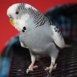 hlídání papoušků, hlídání andulek