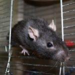 hlídání potkana v Praze