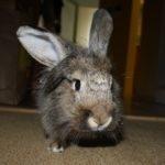 hlídání králíka