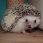 hlídání ježka