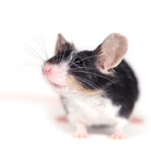 myš, myška, chov myši, chov myšky