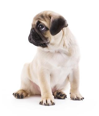 Little Pug