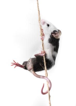 myška, chov myší, chov myšek
