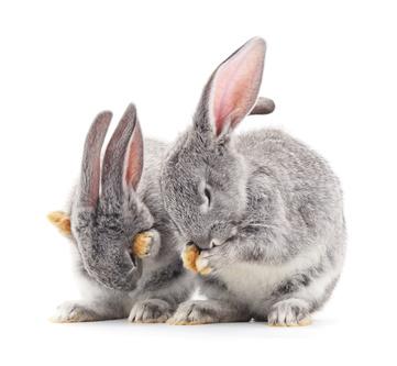 chov králíků, hlídání králíků, hlídání králíčků