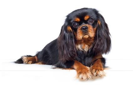Cavalier King Charles Spaniel Hund Liegt Aufmerksam