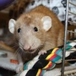 hlídání potkanů v Praze