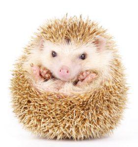 chov ježka bělobřichého