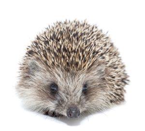 chov ježka