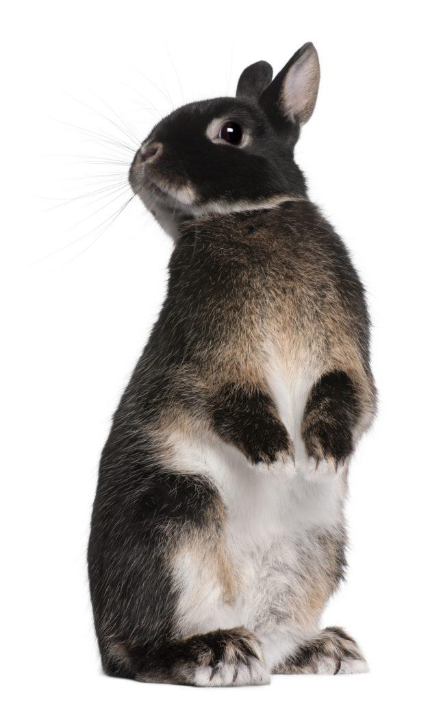 přerostlé drápky králík